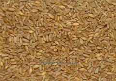 Seeds of winter wheat Odessa 258