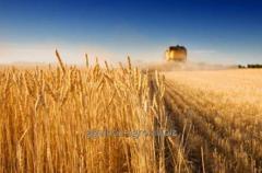 Barley summer and winter