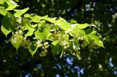 Linden flowers (Tilia Cordata flos)