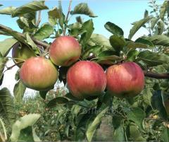 Яблоки глостер на экспорт