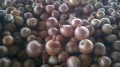 Лук (Ceapa) (из семян) . Продукт находится в