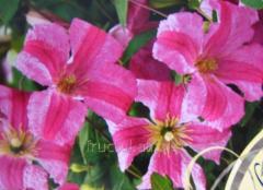 Цветы Clematis