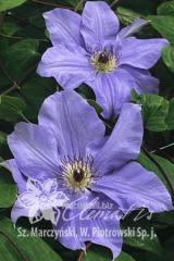 Цветы Ramona