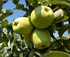 Golden Delicious grade apples