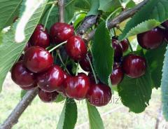 Sweet cherry of grades Kordia, Skeena, Mershand,