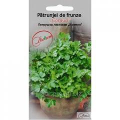 Seeds of leaf parsley