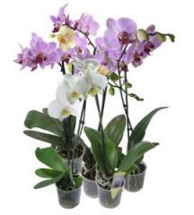 Декоративные горшечные растения