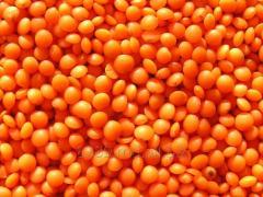 Lentil/Lentils
