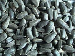 Grade of seeds of a sunflower: Dobrynya