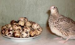 Перепела суточные, молодняк, яйца.