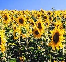Подсолнечник / Sunflower seeds CPT FOB Reni Port,