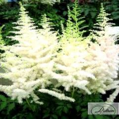 Луковицы Астильба White 37410