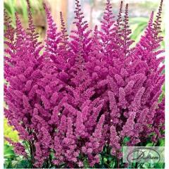 Луковицы Астильба Purple 37352