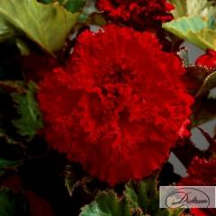 Луковицы бегония Fimbriata Red 37373