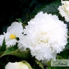Луковицы бегония Fimbriata White 37371
