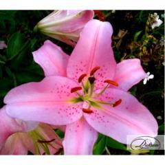 Луковицы лилия Sorbone 10128