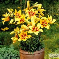 Луковицы лилия Grand Cru 37212