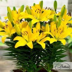 Луковицы лилия Lemon Pixie 10116