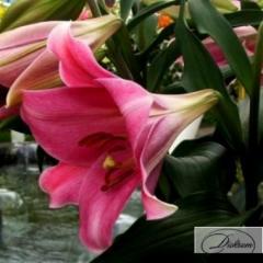 Луковицы лилия Pink Heaven 10153