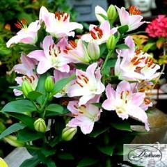 Луковицы лилия Van Veen 10137