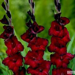 Луковицы гладиолуса Black Jack 37301