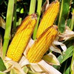 Seeds of sugar corn