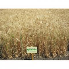 Озимая пшеница Kuialnik