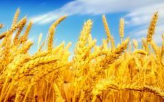 Озимая пшеница Писанка