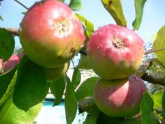 Apples for export from Moldova