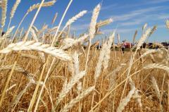 Пшеница - сельское хозяйство