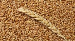 Пшеница на экспорт из Молдовы