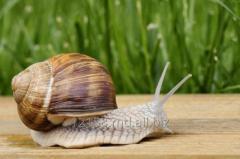 Snails of Helix Pomatia