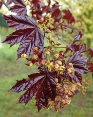 Клен остролистный Acer platanoides  Crimson King
