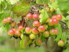 Яблоня Malus