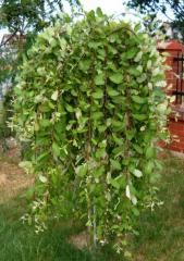 Ива плакучая Salix carpea pendula