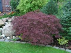 Клён дланевидный Acer palmatum