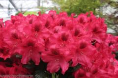 Кустарники Rhododendron