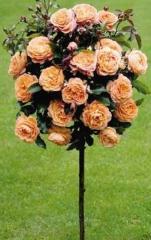 Кустарники Rosa Pa (Роза ( штамп))