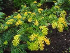 Тис Taxus baccata repandens aurea