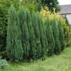 Растения для изгороди Juniperus Blue Arrow