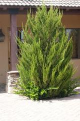 Растения для изгороди juniperus spartan