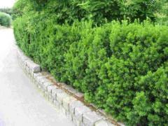 Растения для изгороди Taxus media Hicksii