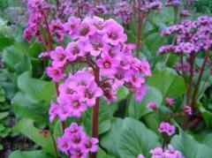 Многолетние цветы Bergenia