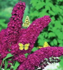 Многолетние цветы Budleja davidii