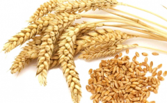 Durum wheat in Moldova and for export