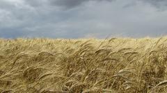 Биологические средства для яровой и озимой пшеницы