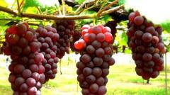 Препараты для защиты винограда