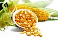 El maíz GSM: 068633385 GSM: 079999383