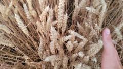 Семена пшеницы FARREL.