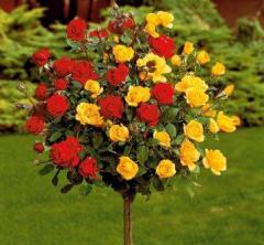 Stam rose by 2 grades
